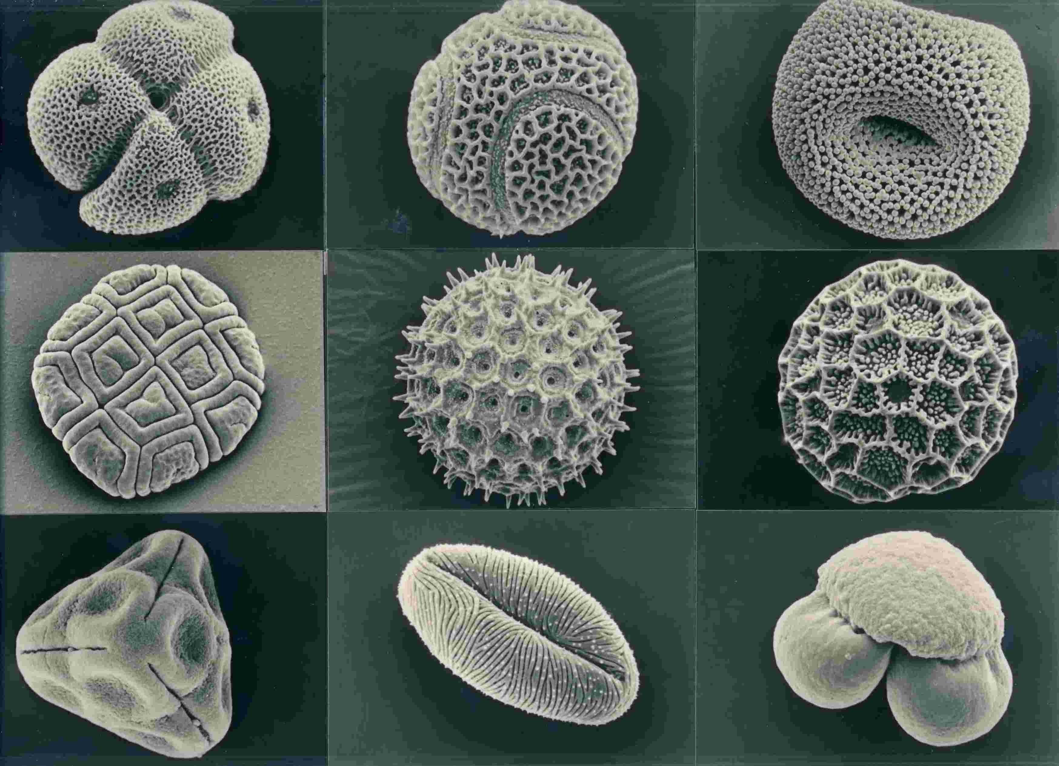 Nine pollen grains